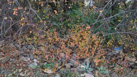 cotoneaster900